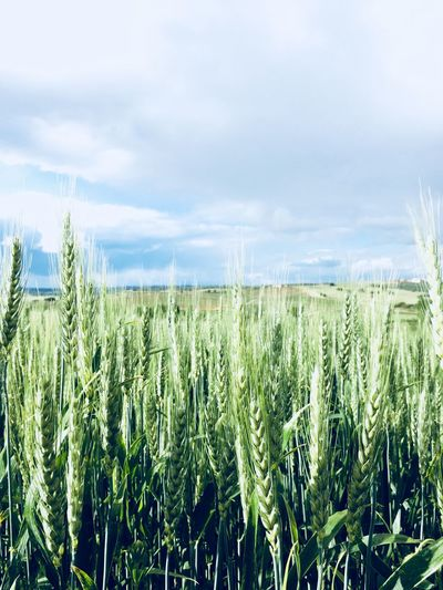 Green spikes in wheat field Spikes Wheat Field Growth Plant Field Land Agriculture Crop  Cereal Plant Sky Beauty In Nature Rural Scene Landscape Nature Cloud - Sky Scenics - Nature