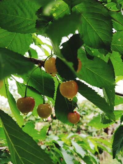 Cherry Tree 🍒cherries Tree Leaf Fruit Branch Close-up Plant Green Color