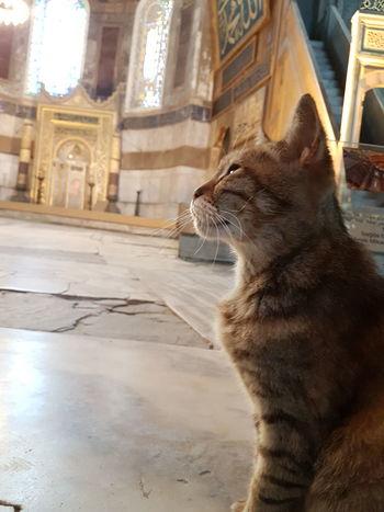CAT IN SANTA SOFIA, ISTAMBUL
