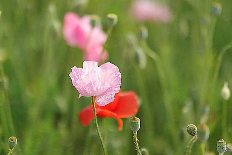 Flowerporn Flowers Beautiful Nature Photography Creamcups Poppy Flowers