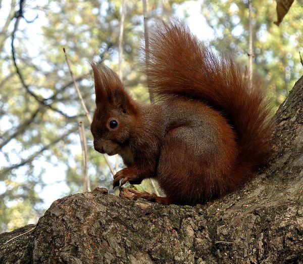 Red squirrel Animal Animal Themes Animal Wildlife Animals In The Wild Day Focus On Foreground Low Angle View Mammal Nature No People One Animal Outdoors Red Squirrel Close Up Rodent Sitting Squirrel Tree Tree Trunk Trunk Vertebrate Whisker
