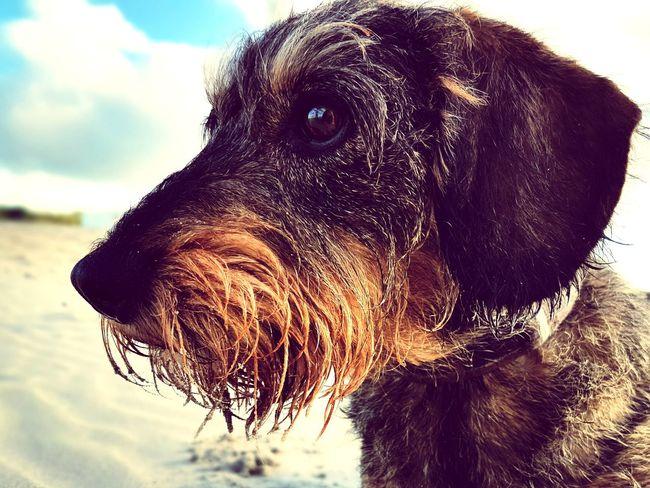 EyeEm Selects Dog Pets One Animal Beach Outdoors Animal Themes Sea Portrait No People Nature Close-up Lumixtz60 Dackelblick Teckel Amor Mio Teckel Whiredhairdog Teckeloneyeem Kasja Wienerdog Sausagedog Sand