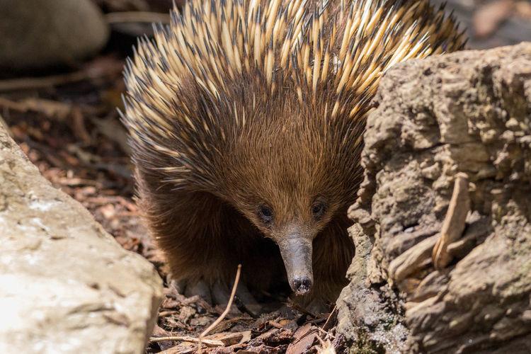Close-up of a porcupine