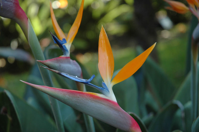 Strelitzie Flower Head Flowering Plant Flower Plant Growth Beauty In Nature Vulnerability  Fragility Freshness Close-up Petal Focus On Foreground Bird Of Paradise - Plant No People Day Nature EyeEmNewHere Plant Part