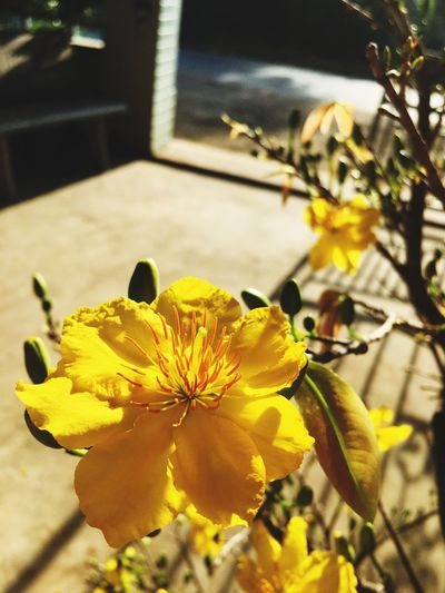 Photo By Me Click Click 📷📷📷 Photographer Photography Nature Beauty In Nature Plant Yellow Flower Hoa Mai Tet Holiday Lunar New Year Spring Ngcuong