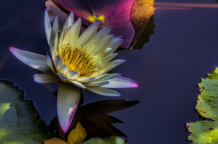 Water Lily Aquatic Flower Aquatic Plant Beauty In Nature Nature Water Lily