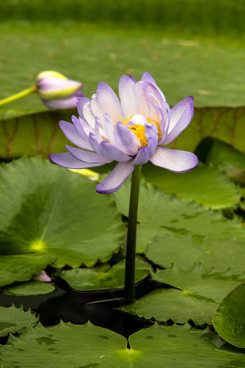 BGBM Botanical Gardens Nymphaea Beauty In Nature Blüte Close-up Floating On Water Flower Flower Head Flowerhead Flowering Plant Fragility Freshness Growth Inflorescence Leaf Nature Plant Plant Part Purple Seerose Vulnerability  Water Water Lily Waterflower