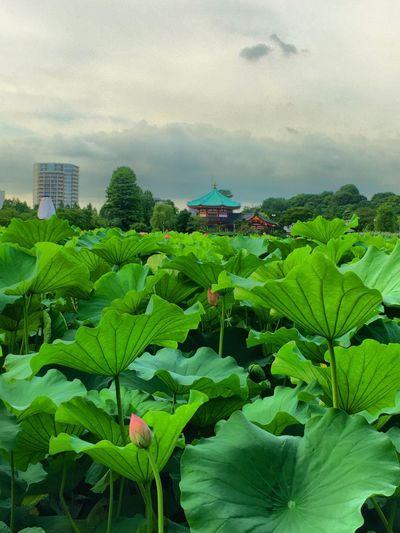 Lotus Flower Ueno Tokyo Japan Iphone6s HDR