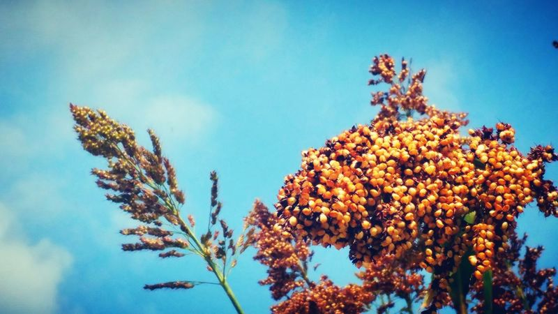 Seed Pods Seed Head Nature Growing Sorghum Sky And Plants