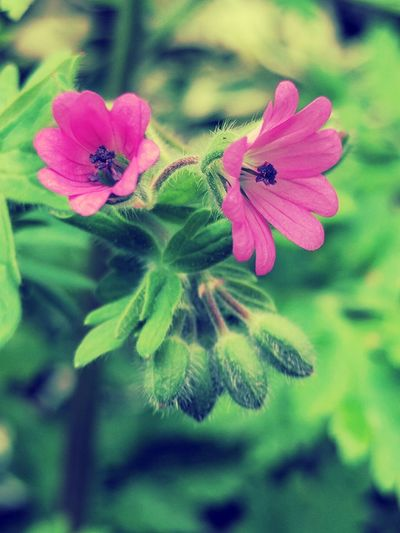 Flower Pink Color Plant Petal Green Color Fragility Beauty In Nature Leaf Flower Head Outdoors No People Focus On Foreground Growth Freshness Close-up EyeEm Best Shots - Flowers Love Of Flowers Blooming Springtime
