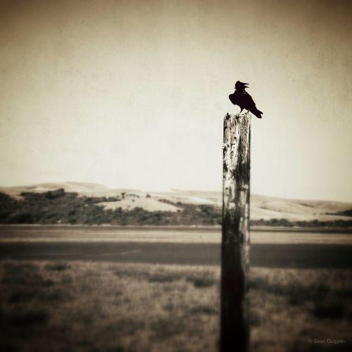 Raven on Post