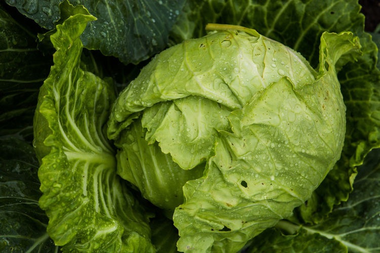 Fresh head of cabbage with rain drops Close-up Day Dew Drop Food Food And Drink Freshness Full Frame Green Color Growth Healthy Eating Leaf Leaves Nature No People Organic Plant Plant Part Raw Food Vegetable Wellbeing Wet