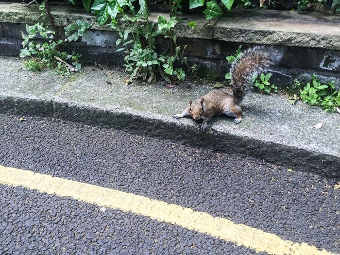 Squirrel Cautious Yellow Line Tarmac Bushey Tail Do Not Cross Stand Behind The Yellow Line Cyril