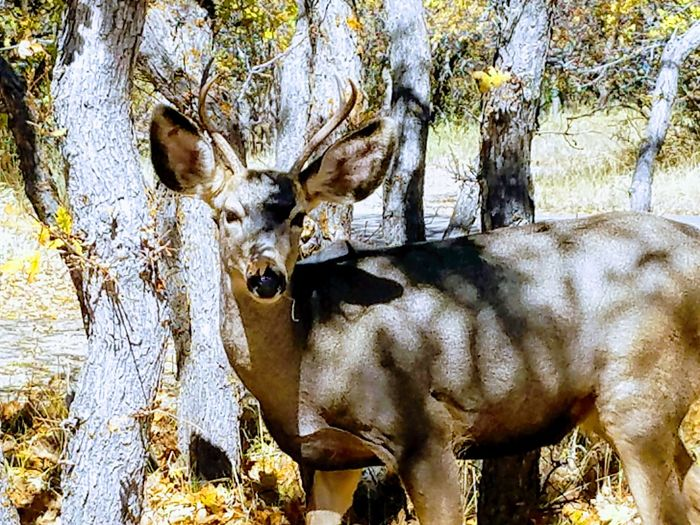 Young buck foraging late autumn treats. Fall Colors Fall Beauty Fall Wildlife & Nature Mammal Buck Autumn Fall Colors Mesa Verde National Park United States Close-up Hoofed Mammal Deer Grazing Antler Herbivorous