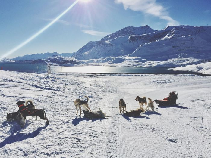Sled dogs on snow covered field by lake against sky on sunny day