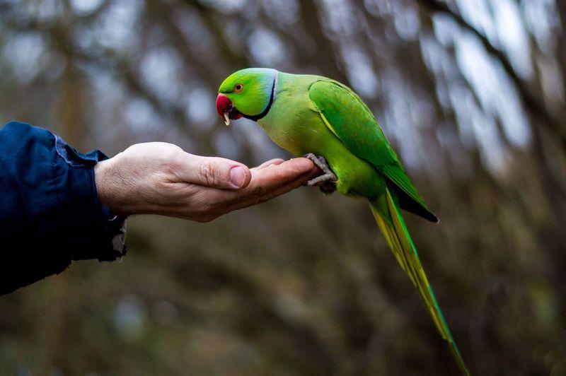 Rose-ringed parakeet perching on man palm