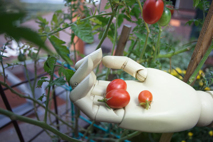 cherry tomato in prosthetic hand Plant Food Healthy Eating Close-up Growth Red Nature Tomato Leaf Freshness Vegetable Green Color Robotic Cyborg Prosthetic Symbol Hand Humanıty Innovation Object Plastic Concept Technology Finger Modern