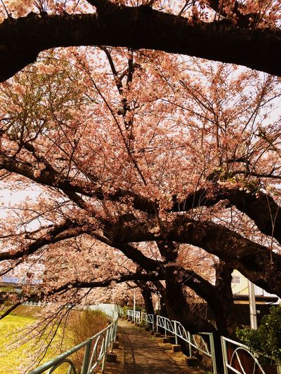 桜 Tadaa Community Morioka Cherry Blossoms