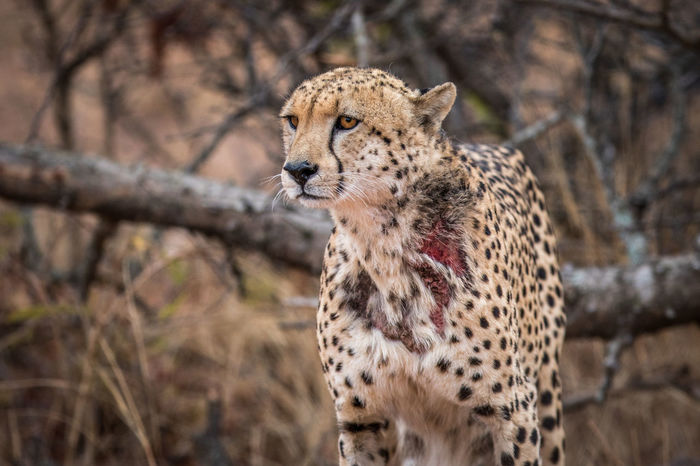 It's a tough life being a Cheetah Africa African Safari Animal Animal Photography Animal Themes Animal Wildlife Animals Animals In The Wild Beauty In Nature Big Cat Cat Cheetah Endangered Species Feline Mammal Nature Nature Photography Nature_collection Safari Safari Animals SF Wildlife Wildlife & Nature Wildlife Photography Wildlifephotography