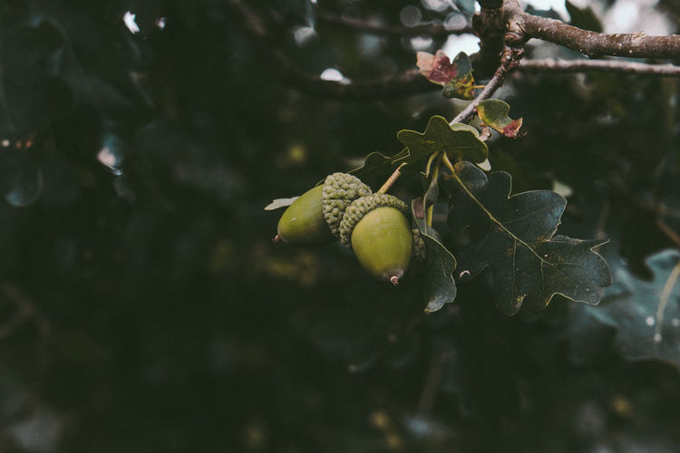 Growth Plant Focus On Foreground Tree Beauty In Nature Leaf Plant Part Close-up Nature Outdoors Green Color Oak Acorn Oak