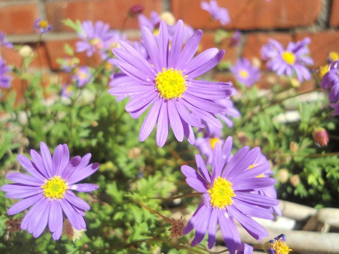 Soon spring will come, I love how this came out looking 3D Looking 3D Nature Beauty In Nature Freshness Petal 3D Flower Head Purple Growth Close-up Focus On Foreground Pollen Plant Day Outdoors No People Osteospermum Brick Wall Green Yellow Circle Round The Still Life Photographer - 2018 EyeEm Awards