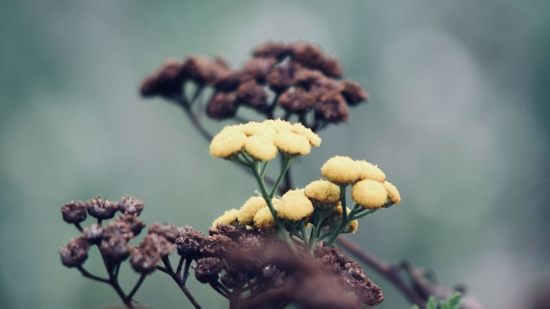 change of season, yellow and dried tansy flowers Wildflower Abstract Abstract Backgrounds Backgrounds Beauty In Nature Brown Close-up Dried Plant Flora Flower Flower Head Focus On Foreground Fragility Freshness Garden Growth Lush Foliage Nature Outdoors Plant Tansy Wild Yellow