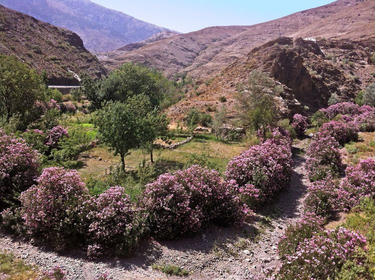 """""""As long as there is water, there is life"""" Atlas Atlas Mountain Atlasmountains Beauty In Nature Desert Flower Green Color Landscape Laurel  Laurier Lauriers Rose Maroc Montagne Morocco Mountain Mountain Range Nature Oleander Oued Outdoors Plant River Tranquility Tree Wadi"""