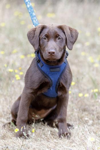 5-months-old chocolate labrador retriever puppy female