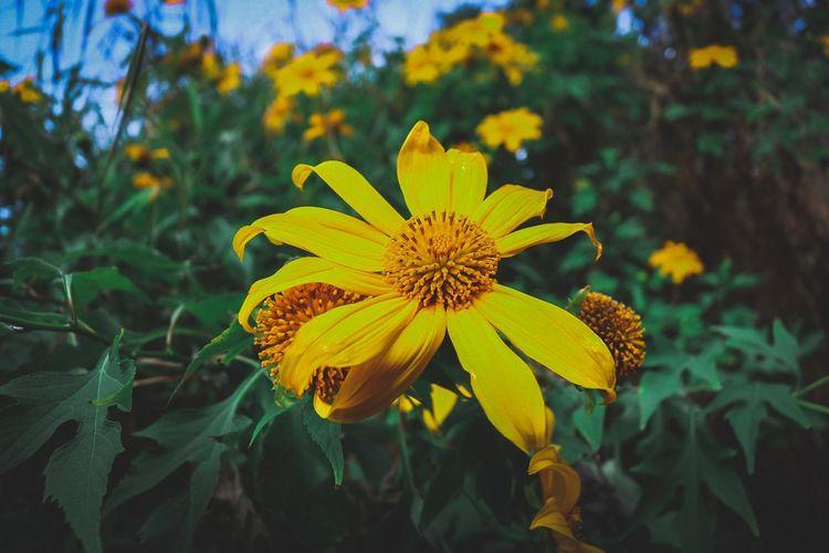 Yellow. Yellow Flower Flower Head Flower Yellow Outdoor Pursuit Close-up Plant Flowering Plant Botany