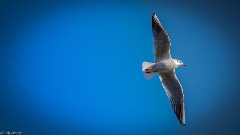 Flying Bird Spread Wings Animal Themes Blue Clear Sky Animals In The Wild One Animal Mid-air Low Angle View Full Length Motion Animal Wildlife Nature No People Black-headed Gull Day Outdoors