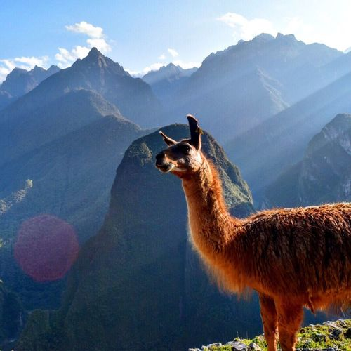 Side view of llama on cliff against mountains