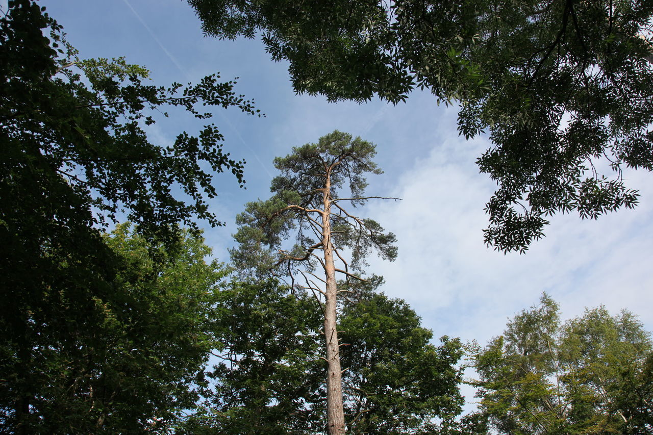tree, plant, low angle view, sky, growth, nature, day, no people, beauty in nature, cloud - sky, green color, outdoors, tranquility, land, forest, tall - high, tree trunk, branch, trunk, scenics - nature, directly below, coniferous tree, tree canopy