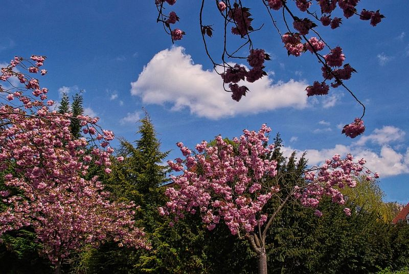 Kirschbaumblüten Stresemannstr., Marburg Wolkenhimmel Beauty In Nature Blossom Blühende Bäume Branch Cloud - Sky Day Flower Fragility Freshness Growth Low Angle View Nature No People Outdoors Pink Color Rosa Scenics Sky Springtime Tranquility Tree