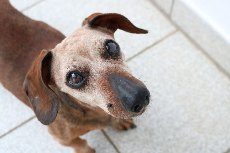 Showing my white hair. The color of aging. But always a cutie. 14 Years Old Cute Pets Dogs Of EyeEm EyeEm Best Shots Four Legs And A Tail Hello World Looking At Camera The Week Of Eyeem Aging Aging Process Canon_photos Dachshund Dog Dog Life Dog Love Dog Photography Dog Portrait Dogoftheday Dogslife Lookingup Old Dog portrait of a friend Portrait Photography Senior Dog White Hair