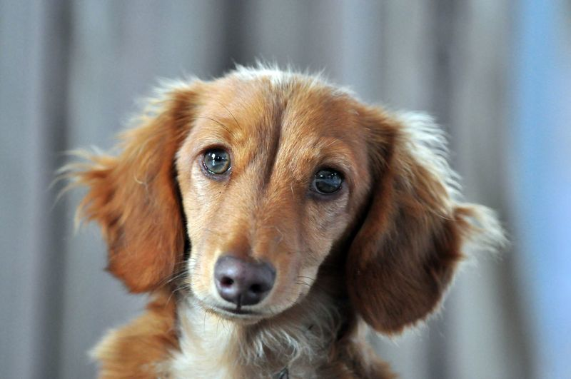 Cure Long Haired Dachshund Close-up Cute Pets Dog Domestic Animals Long Haired Dachshund Looking At Camera No People One Animal Pets