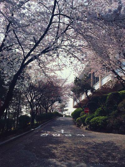 벚꽃 서강대 로욜라 진입금지