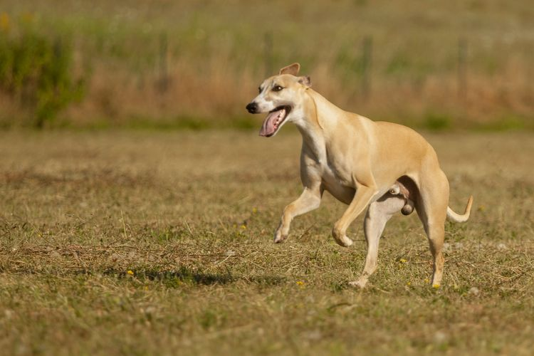 Side view of a dog running on field