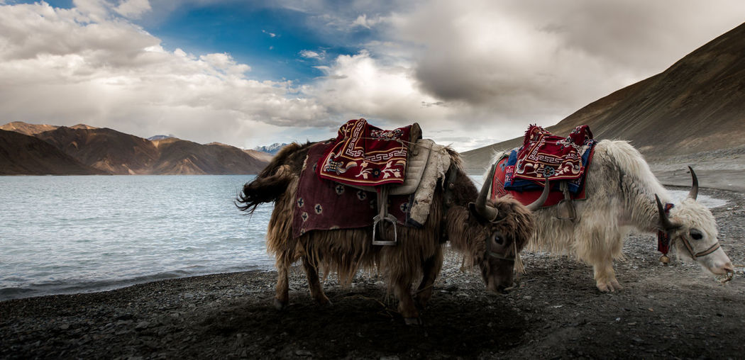 Yaks On Mountain Against Sky