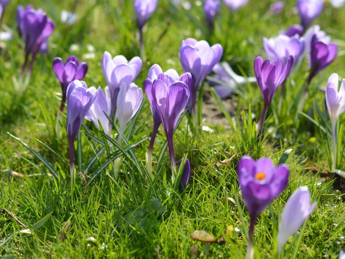 Beauty In Nature Blooming Close-up Crocus Crocus Flower Crocuses Day Flower Flower Head Focus On Foreground Fragility Freshness Green Color Growth Nature No People Outdoors Petal Plant Purple Spring Time