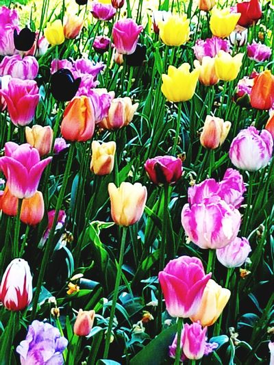 Flower Beauty In Nature Nature Tulip Flowerbed Freshness