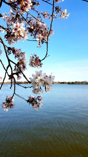 Cherry Blossoms Festival DC Photographer Water Lake Flower Tree Nature