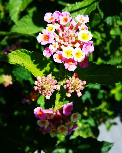 Beautiful flowers Flower Pink Nature Beautiful Flowers Flowers Pink Lantana Camara Multi Colored Petal Lantana Close-up First Eyeem Photo Go Higher EyeEmNewHere Inner Power Stories From The City