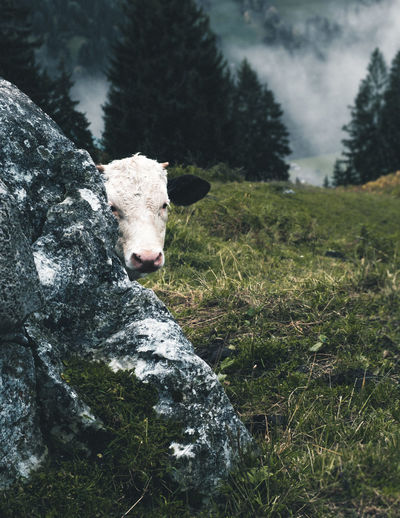 Littler cow hiding behind a rock Grass Green Color Rock Animal Themes Close-up Cow Day Domestic Animals Field Grass Hiding Joung Cow Mammal Mountain Nature No People One Animal Outdoors Rural Scene Swiss Swiss Alps Swiss Mountains Switzerland Tree
