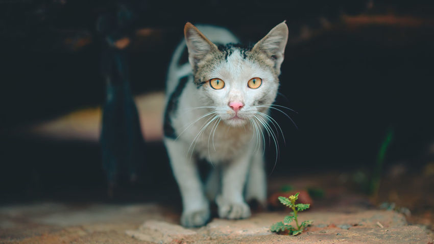 Cat Walking Cinematic Plant Animal Themes Cat Cat Eyes Cat Lovers Cat Photography Cat Portrait Close-up Day Domestic Animals Domestic Cat Feline Focus On Foreground Indoors  Kitten Looking At Camera Mammal No People One Animal Pets Portrait Whisker White Cat