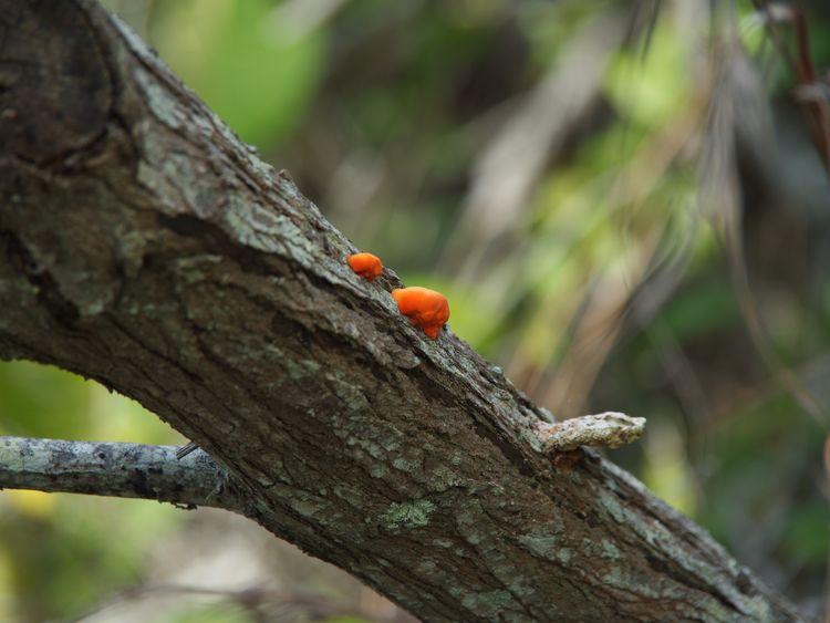 Orange Mushroom On Branch Noosa Orange Color Mushroom Tree Orange Color Focus On Foreground Day No People Branch Outdoors Nature Plant