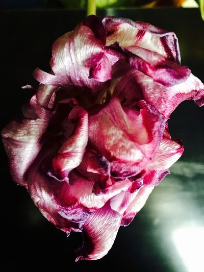 artist's interior Beauty In Nature Black Background Blooming Close-up Day Flower Flower Head Fragility Freshness Growth Nature No People Outdoors Petal Pink Color Plant Rose - Flower Tulips