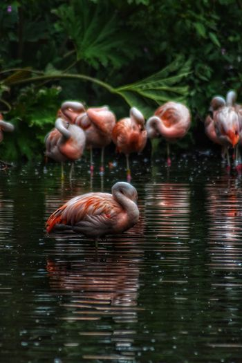 A rainy day at Martin Mere wildlife reserve, even the flamingos were taking shelter. Bird Water Lake Reflection Flamingo Nature Beauty In Nature Tranquility Malephotographerofthemonth Nikon Photography Photography Is My Escape From Reality! Atmospheric Mood Nikon Reflection Horizon Over Water Martin Mere Birdphotography Flamingos In Water