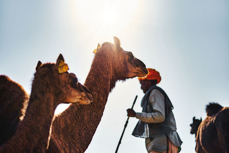 Low angle view of camel and man against sunny sky