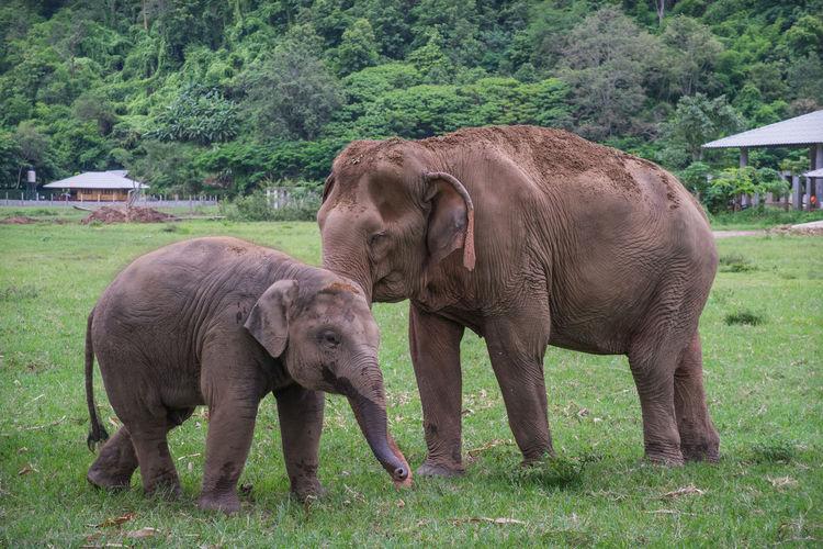 Elephants on grassy landscape