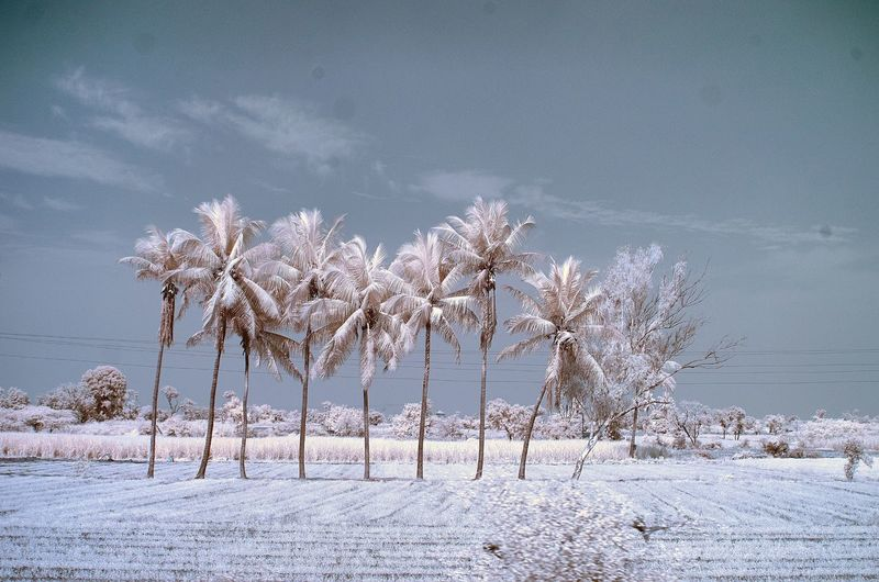Infrared image of palm trees on field against sky